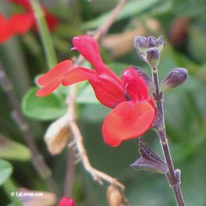 Sauge à petites feuilles Inflorescence