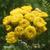 Tanaisie-cispee-fleur