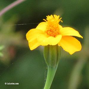 Tagète nématicide Fleur