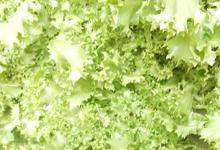 Salade frisée bio, Eddy Vray