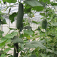 concombre jardin de Villasauvage