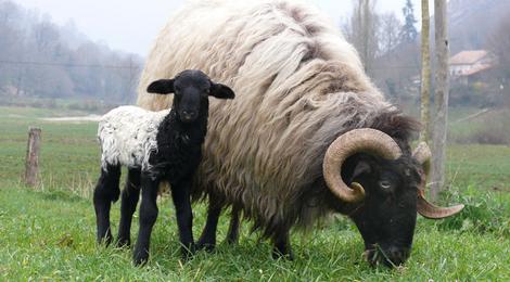 Colis viande d'agneau de lait - env. 6kg
