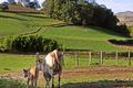 vente directe de veaux et bœufs élevés à la ferme, blonde d'Aquitaine