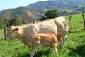 ferme Suraia, vente directe de viande Blondes d'Aquitaine