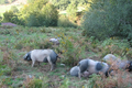 ferme Uhaldea, Jambon de porc Kintoa et viande fraîche de porc