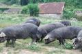 """Charcuterie Oyharçabal """"Comme à la Ferme"""", porc gascon"""