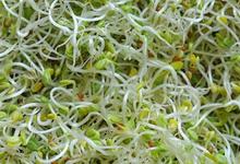 graines germées de trèfle pourpre