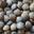 GIE Ferme de Chassagne, Lentilles vertes