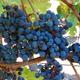 Domaine la Tour Beaumont, Morgeau vignerons