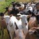 fromages de chèvre coudret