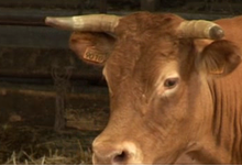 Jacky Dorin, viande bovine