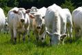 viande bovine