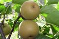 Thierry Sacrez, arbres fruits
