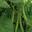 haricots verts