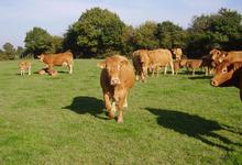 Gaec Alp-Rousse, vache limousine et chèvres