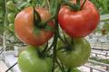 Tomates grappes, Les Saveurs de Chailly