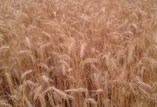 Ferme du gros buisson, chant de blé