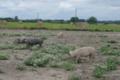 Eric Lelièvre, viande bovine et porcine BIO à la ferme