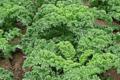 Le chou kale, un légume santé