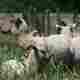 Vente directe de viande d'agneau