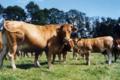 viande bovine bio
