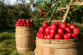 une quinzaine de variétés de pommes