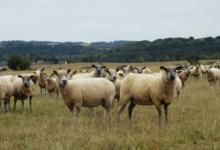 caissette d'agneau