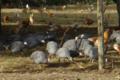 la ferme d'Olivier, Volailles élevées en plein air