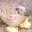 Cailles De Chanteloup, cailles vivantes