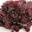 Dulse - Algues frais, salées