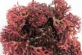 Chondrus Crispus séché blanchi