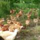 poulets de chair