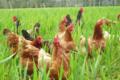 ferme du Menez Hom, poulets