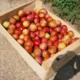 Verger de Lanvern, pommes