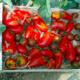 Verger de Lanvern, tomates