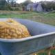 Verger de Lanvern, pommes de terre