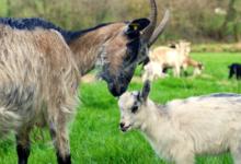 La Chèvrerie des Landes Du Canut