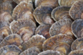 La perle des grèves, Douzaine d'Huîtres plates n°00