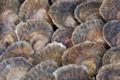 La perle des grèves,  Douzaine d'Huîtres plates n°0