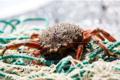 Les Viviers d'Armor, araignées de mer