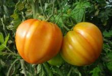Stéphane Thomazeau, Tomates coeur de boeuf