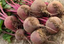 Les légumes de la Côte