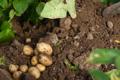 Le jardin du primeur, Nos pommes de terre (ramassées à la main)