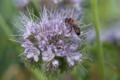 L'abeille des onze écluses