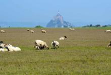 Agneaux Présalés du mont saint michel - Yannick FRAIN