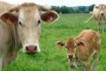 viande bovine de race blonde d'aquitaine