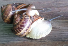 Escargot le Dominette