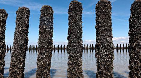 Moules de bouchot de la Baie du Mont-Saint-Michel AOP