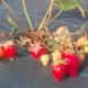 fraise cigaline