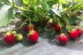 fraises Mara des Bois